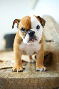 Bulldog Puppy by (tsuno_tokyo)