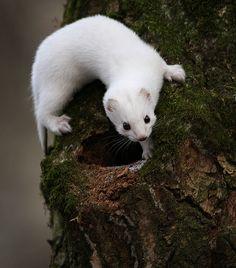 Weasel                                       ( in his winter ermine coat)