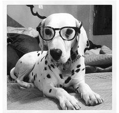 #dalmatian with glasses