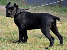 Most Popular Dog Breeds, Cane Corso, Puppy Love, Pitbulls, Puppies, Dogs, Animals, Adorable Puppies, Cubs