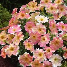 DOLCISSIMA FLAMBE Petunia Seeds  Three in. ruffled flowers in a pastel blend of rose, lemon, and creamy-white. Nicely shaped, very long blooming plants; grow neat, compact 8-10 in. tall. 30 seeds - $2.49 DOLCISSIMA SERIES A new and unique Italian grandiflora petunia. No two flowers are identical. flower prolifically from spring until first frost. Full sun to part shade. DECK & SUN BASKETS