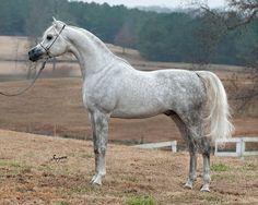 Equine Photography by Suzanne Inc RAMSES MISHAAL NADIR