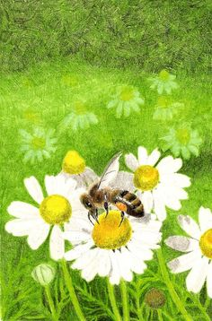 Honeybee on chamomile, drawn in colored pencil