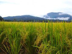 Paddy Field, Singkir Laut, Kedah, Malaysia Diy Flowers, Paper Flowers, Kerala, Beautiful World, Farmer, Fields, Natural Beauty, Landscaping, Wallpaper