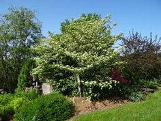 A Pagoda Dogwood in full bloom in early summer at Spring Valley Roses.