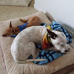 Meet my little friend Remi. He's cool! He's a rescue too. #luna #pedigreerescues #adoptdontshop #rescuenation #rescue #rescuedog #shelterdog #dog #instadog #pets #petstagram #dogsofinstagram #dogstagram #dogoftheday #prt #parsonrussellterrier #sleepydog #