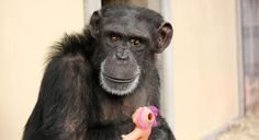 Foxie with her troll doll..Chimp Sanctuary NW