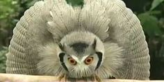 "Ptilopsis leucotis is already a strange looking owl also called Northern white-faced owl. When face to face with a 35cm long owl, it tries to appear larger to scare off a possible enemy... ...but when puffing up won't work, then it's time to transform into a kinf of ""evil owl""  http://animopedia.com/ptilopsis-leucotis-the-transforming-owl"