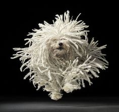 What an amazing shot by Tim Flach! Running komondor.