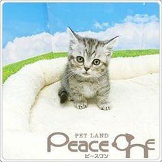 更新遅れてしまいました! 先週から仲間に加わりました マンチカンです 毛色はシルバータビー 少し怖がりさんですが 遊ぶことが大好きな男の子です❤  #pet #ペット #愛犬 #愛猫 #ペットショップ #大阪ペットショップ #ピースワン #PeaceOne  #トリミング #トリマー #ペットホテル  #わんちゃん #ねこちゃん #Dog #Cat # マンチカン#munchkin #シルバー#タビー #男の子 #短足 #関西 #大阪 #osaka #谷町  #谷町9丁目 #谷9 #上本町 #生玉 #高津