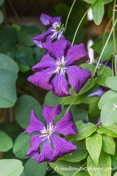 Clematis is a flowering vine that is perennial and grows in part shade. It has such beautiful flowers and is easy to grow making it a great plant for landscaping. Find out more about how to grow and prune Clematis, as well as some of the best varieties. Clematis Care, Clematis Plants, Autumn Clematis, Purple Clematis, Clematis Flower, Clematis Trellis, Part Shade Perennials, Shade Plants, Hardy Perennials