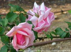 Emmanuella de Mouchy, rosier grimpant de  4à 5 m, offre ses fleurs en coupes, globuleuses, d'un rose vif chaud avec des nuances dorées à leur épanouissement, et un délicieux parfum de thé. Floraison précoce, mais de longue durée,  remontée en régions chaudes.   Gigantea, botanique. Nabonnand, 1927.