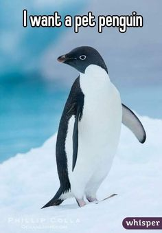 Donny,Penguins go to heaven too! You told me that you couldn't have too many Friends. Oh my gracious at all of the penguin Friends you must have Penguin Pictures, Animal Pictures, Cute Pictures, Beautiful Birds, Animals Beautiful, Penguin World, Penguin Love, Penguin Party, Funny Animals