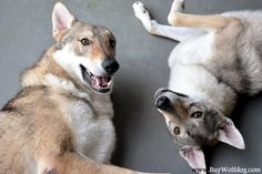 Czechoslovakian Vlcaks Ceskoslovensky Vlcak Czechoslovakian Wolfdogs For Sale in New York City in the USA