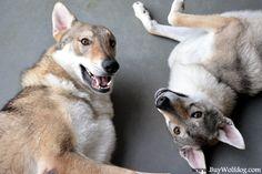 Czechoslovakian Vlcaks Ceskoslovensky Vlcak Czechoslovakian Wolfdogs For Sale in New York City in the USA