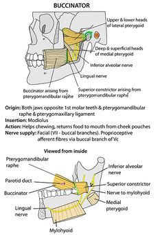 Instant Anatomy - Head and Neck - Areas/Organs - Mandible - Buccinator, attachments