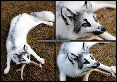Standard Marble Fox Soft Mount by SkinnedFawxTaxidermy