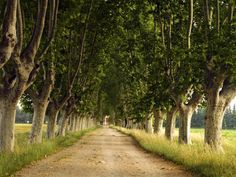 Plane trees in Provence.