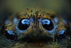 P. rufilata mature female, 7-inch (_papilio) Tags: macro spider nikon arachnid…