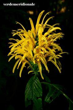Jacobinia aurea Garden, Flowers, Garten, Lawn And Garden, Gardens, Gardening, Royal Icing Flowers, Outdoor, Flower