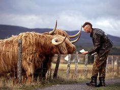 Highland Cattle {Scotland}