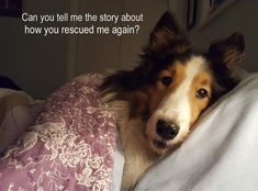Such a precious face, Holly! (Toby is Maine Sheltie Rescue's mascot!)