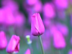 One Million Tulips. Purple Tulips, Tulips Flowers, Relaxing Music, Bud, Wallpaper Backgrounds, Check, Flowers, Tulips, Calming Music