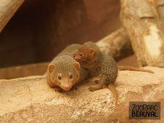 Bébé #mangouste - ZooParc de Beauval