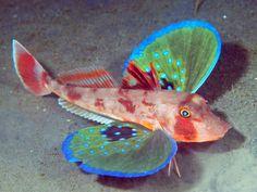 Is het een vlinder, een krab of misschien toch een haan? Hoewel hij van alle drie wel wat weg heeft behoort deze gevleugelde zeebodembewoner (Chelidonichthys spinosus) tot de straalvinnige vissen uit de ponen familie. Meer lezen? http://tessalouwerens.nl/knorhanen/