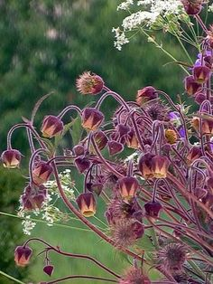 Water Avens, Geum rivale - Flowers Unusual Flowers, Wild Flowers, Beautiful Flowers, Garden Arbor, Garden Plants, Sensory Garden, Cut Flower Garden, Plant Species, Gras