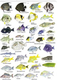 Eleuthera Bahamas Reef Fish and Diving in Harbour Island Saltwater Fish Tanks, Saltwater Aquarium, Aquarium Fish, Saltwater Fishing, Jet Ski Fishing, Fishing Guide, Arte Coral, Eleuthera Bahamas, Nassau