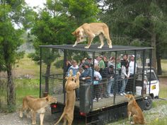 """Orana Wildlife Park, Christchurch, New Zealand - Lion Encounter Ride. The specially designed feeding wagon  travels through the African Lion Habitat for extremely close up views of the """"King of Beasts.""""  http://blog.christchurchnz.com/10-fool-proof-ways-to-occupy-the-kids-this-summer/"""