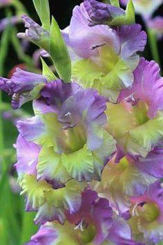 Lilac and Chartreuse gladiolus Exotic Flowers, Amazing Flowers, Beautiful Roses, Pretty Flowers, Gladiolus Bulbs, Gladiolus Flower, Garden Bulbs, Garden Plants, Memorial Flowers
