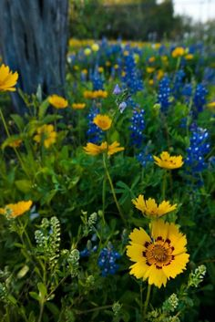 J. Griffis Smith/Texas Highways  Bluebonnets and coreopsis mingle with Texas toad flax and pepper weed.