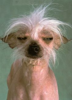 Never ugly dogs, adorable! Ugly Puppies, Ugly Dogs, Dogs And Puppies, Doggies, Griffon Bruxellois, Silly Animal Pictures, Dog Pictures, I Love Dogs, Cute Dogs