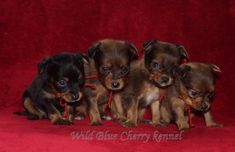 Russkiy Toy puppies 1 month old