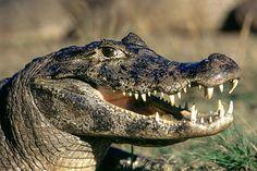 jacares-e-crocodilos-entenda-as-diferencas-1