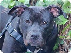 Oakland, CA - American Pit Bull Terrier Mix. Meet Henna, a dog for adoption. http://www.adoptapet.com/pet/11561378-oakland-california-american-pit-bull-terrier-mix