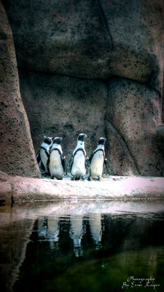 #penguins #reflections #water #aquarium #vancouver Vancouver Aquarium, Stanley Park, Penguin S, British Columbia, Water, Families, Movie Posters, Animals, Water Water