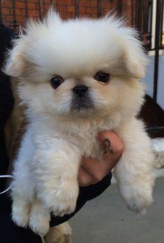Adorable Peek Puppy. Draycott Ave, SW3