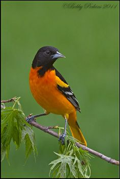 Baltimore Oriole by Bobby Perkins, via Flickr
