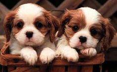 Teacup twins