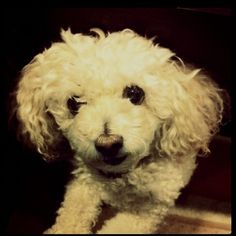 """poodles that don't look like """"poodles"""" amy_m"""
