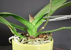 tip for preparing to repot orchids