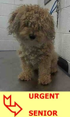 SAFE --- SHAGGY (A1709555) I am a neutered male gold Poodle - Standard mix.  The shelter staff think I am about 9 years old and I weigh 12 pounds.  I was found as a stray and I may be available for adoption on 07/11/2015. — hier: Miami Dade County Animal Services. https://www.facebook.com/urgentdogsofmiami/photos/pb.191859757515102.-2207520000.1436207669./1006615032706233/?type=3&theater