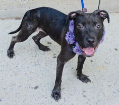 SAFE❤️❤️ 8/20/16 Manhattan center ASHA – A1085326 FEMALE, BLACK, PIT BULL MIX, 10 mos STRAY – STRAY WAIT, NO HOLD Reason STRAY Intake condition UNSPECIFIE Intake Date 08/13/2016, From NY 10472, DueOut Date 08/16/2016