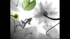 Radiografía a color de una rana acompañada de nenúfares. Arie van't Riet SPL Barcroft Media - 3 (© Derechos Reservados de la British Broadcasting Corporation Corporación Británica de Radiodifusión 2014)