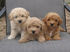 Bichoodle puppies - I want one more than anything! <3