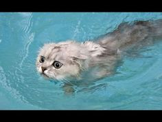 Does your cat like to swim? LOL! Tell us about it https://www.youtube.com/watch?v=SP5RYYK3LaY#utm_sguid=169822,ef7979d4-a9f5-c9f0-8514-30daf8f2c319