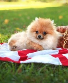 Marvelous Pomeranian Does Your Dog Measure Up and Does It Matter Characteristics. All About Pomeranian Does Your Dog Measure Up and Does It Matter Characteristics. Cute Puppies, Cute Dogs, Dogs And Puppies, Doggies, Cute Little Animals, Little Dogs, Animals And Pets, Baby Animals, Shih Tzu Hund